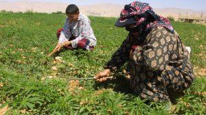زراعة الحشيش في لبنان